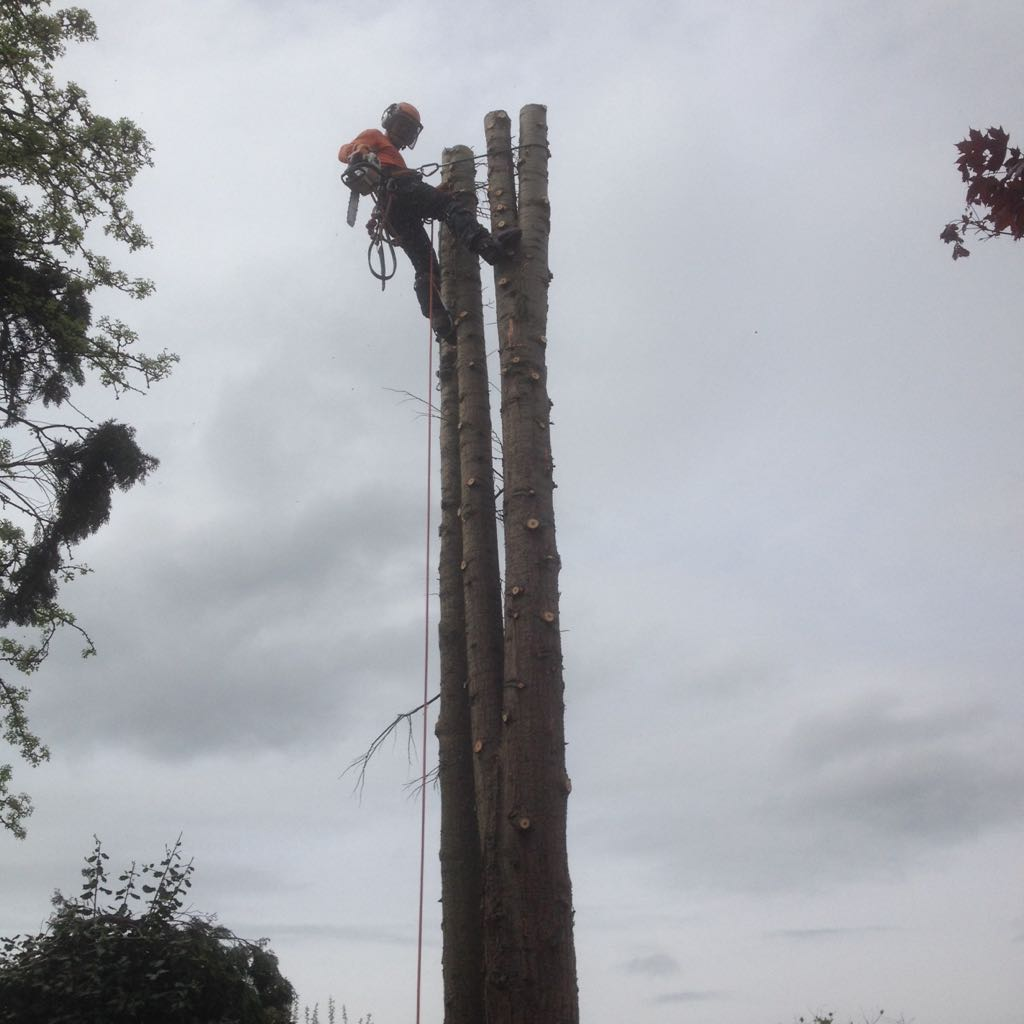 Large Multi Stem Conifers removed