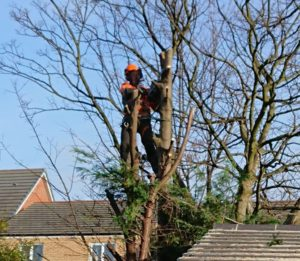 Birstall Tree services Sycamores and Conifers Crown Reduction