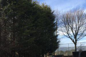 Birstall Tree Services - Conifer