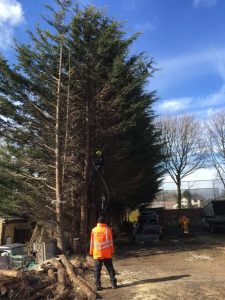 Birstall Tree Services - Conifer