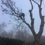 Birstall Tree Services - Large Maple Taken Down